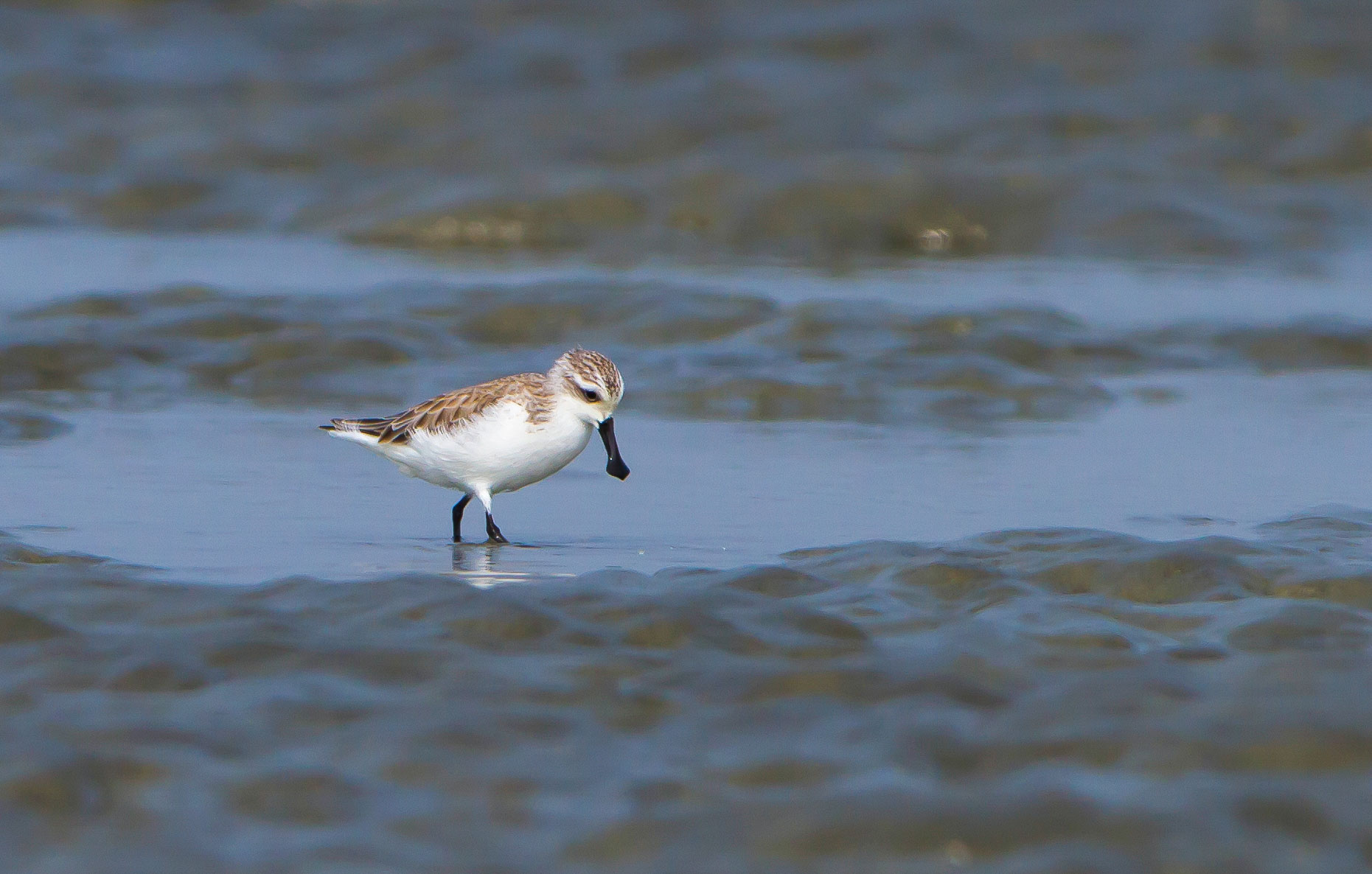 The Spoon-bill is considered the rarest sandpiper in the world. Sayam U. Chowdhury