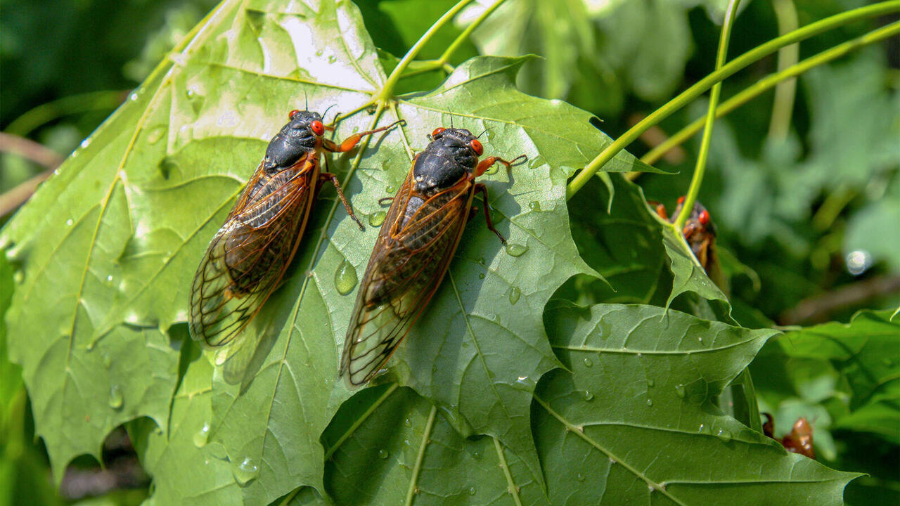 Birds May Hold Clues to the 'Bizarre' Life Cycle of Brood X Cicadas