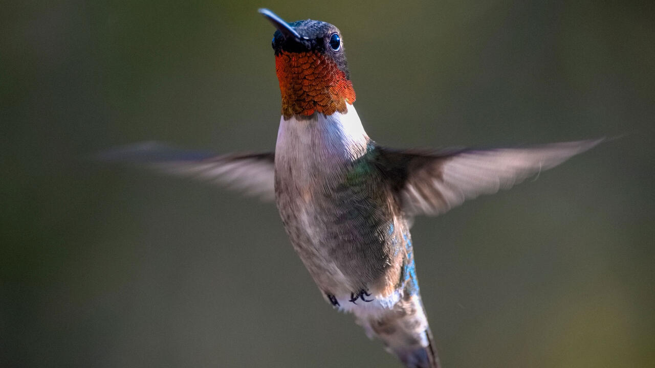 Five Incredible Ways Birds Change Their Bodies for Spring and Fall Migration