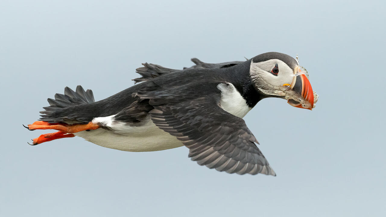 An Atlantic Puffin flies against a pale blue sky carrying a stack of translucent, small fish inside its curved black and orange beak.