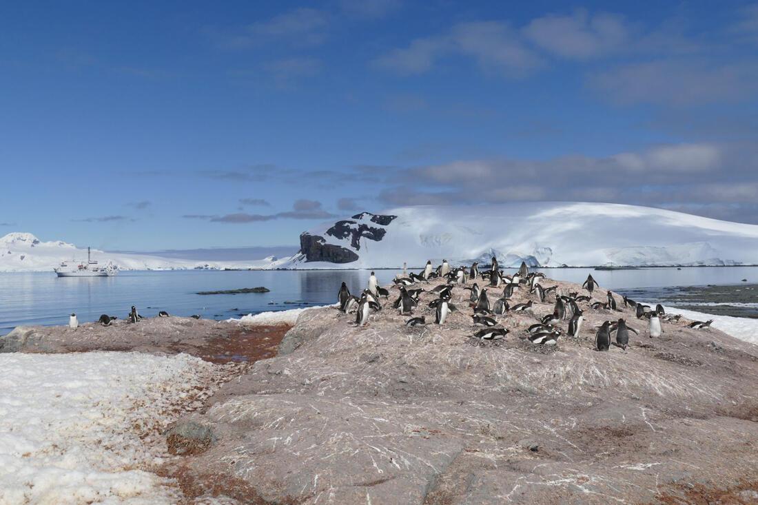 A colony of Gentoo Penguins in Mikkelson Harbor, Antarctica. Credit: Noah Strycker
