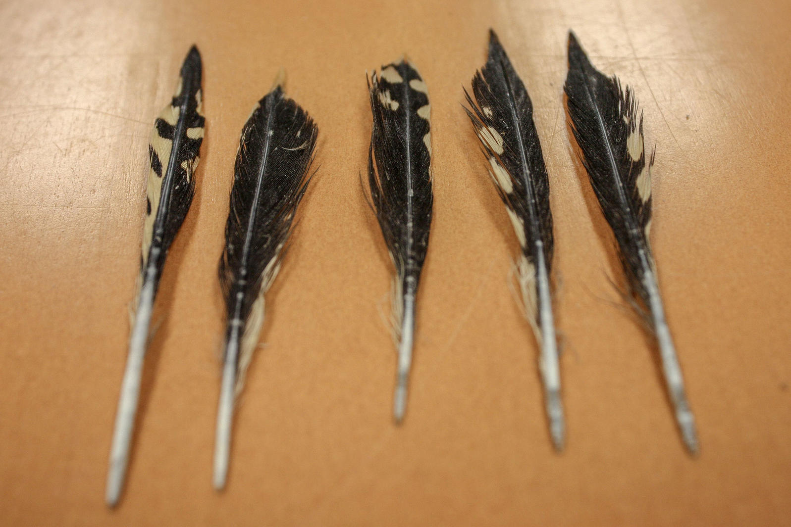 """Woodpecker feathers retrieved from what one Field Museum researcher described as a tiger shark's """"partially digested goop."""" Another sample included a bunch of tiny rubber bands from braces. Trey Spearman/University of South Alabama"""