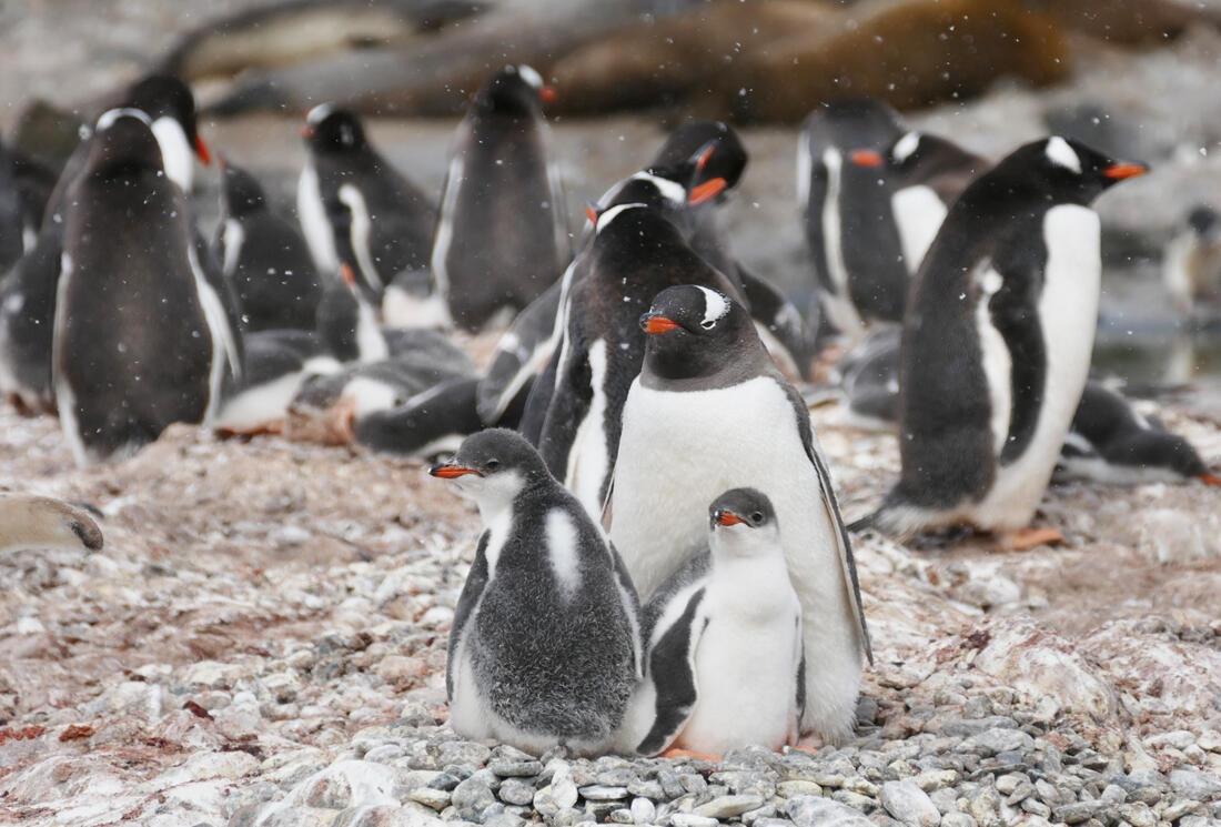 A Gentoo Penguin colony. Credit: Noah Strycker
