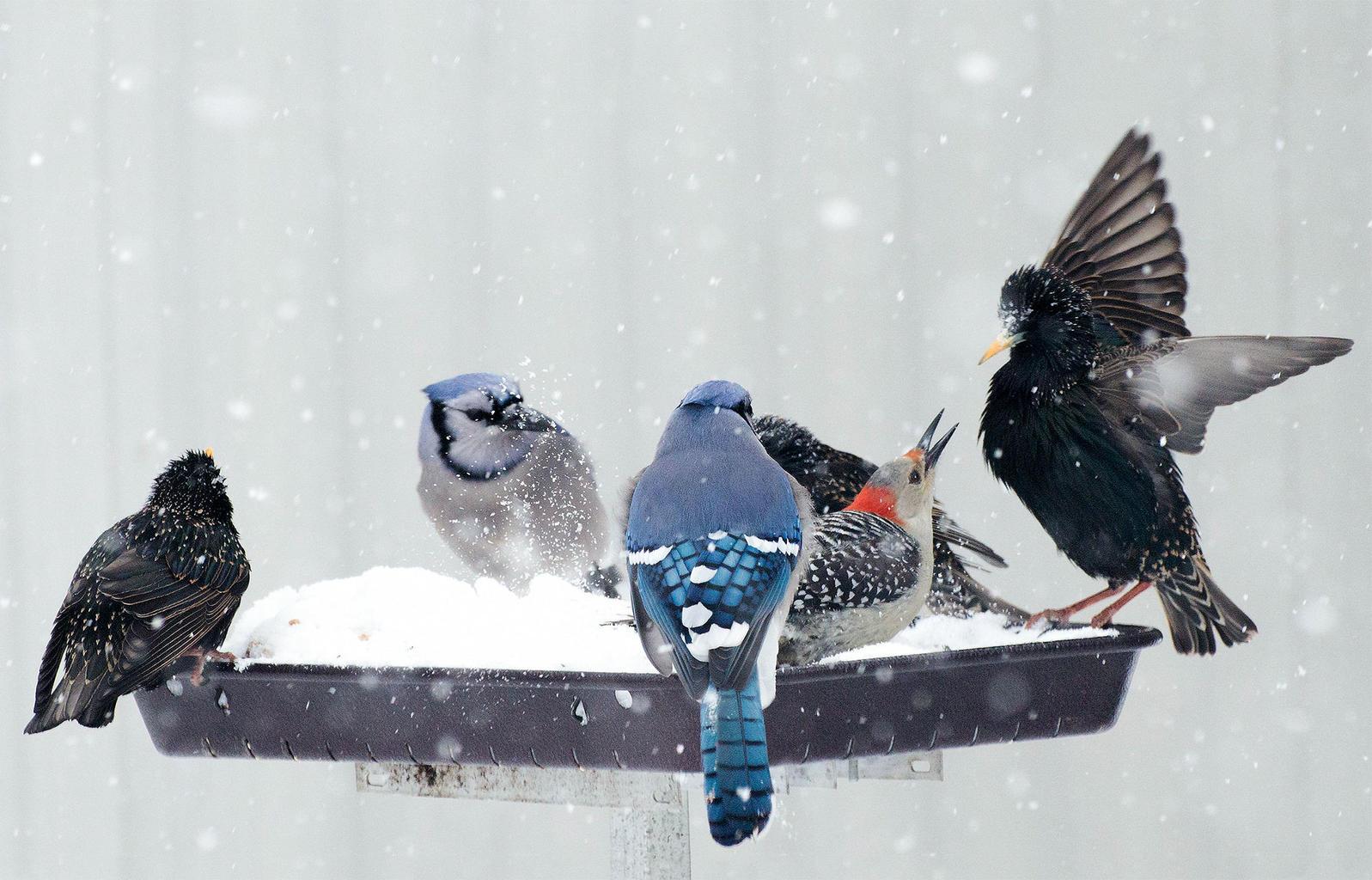 "European Starlings, Blue Jays, and Red-bellied Woodpecker. <a href=""https://www.flickr.com/photos/94353140@N04/16430044437/"">Carolyn Lehrke</a>/Flickr (CC BY-NC-ND 2.0)"