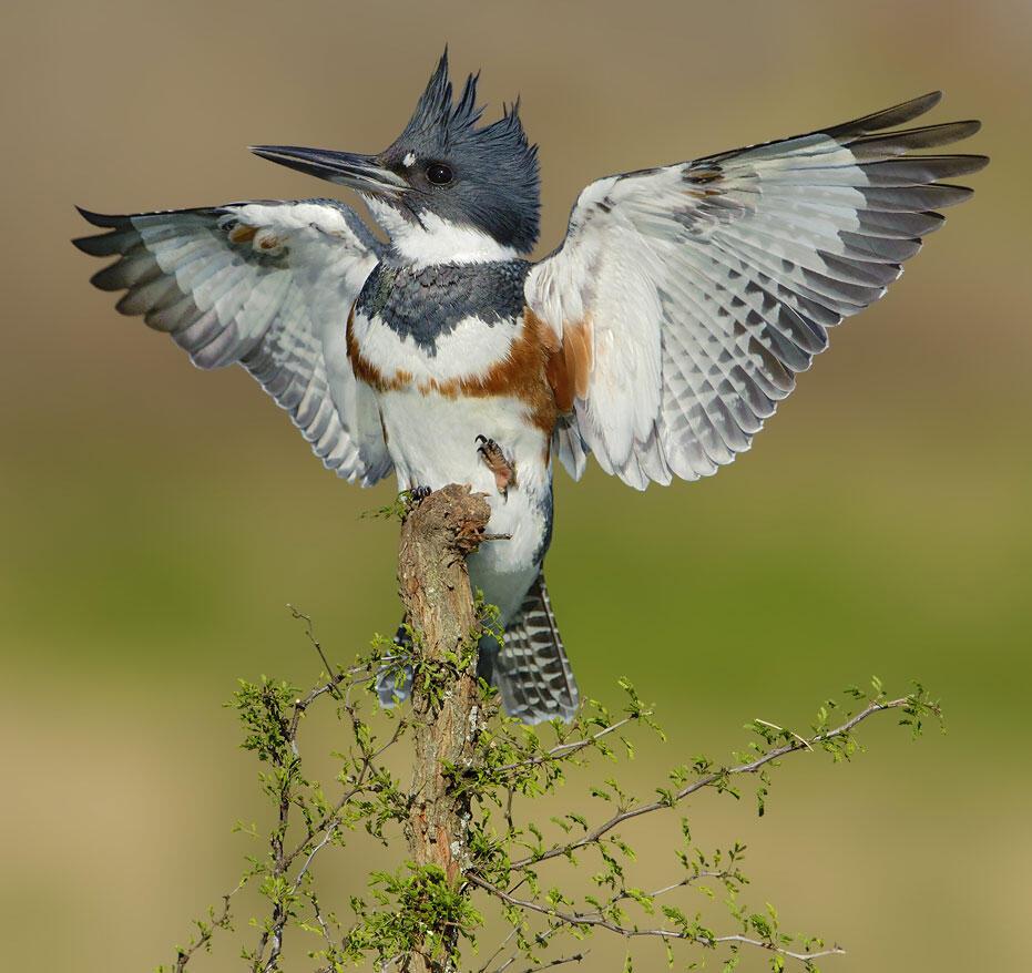 Belted Kingfisher. Alan Murphy/Audubon Photography Awards
