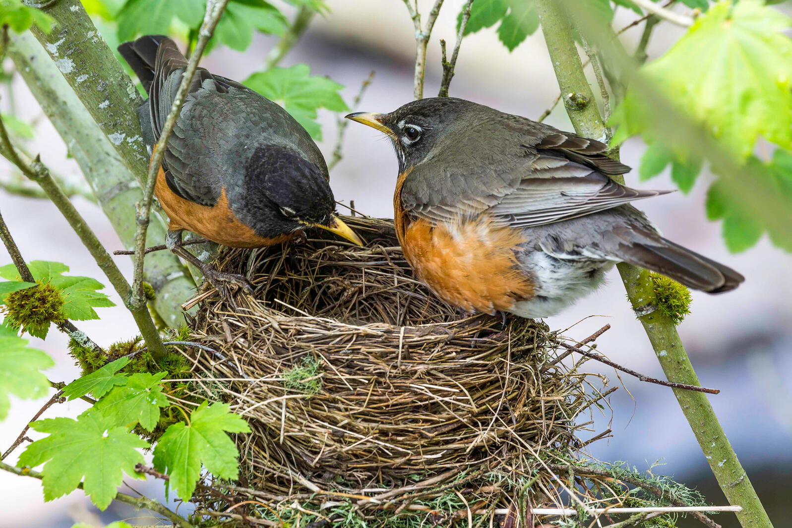 You Ve Likely Hosted More Nesting Robins Than You Think Audubon
