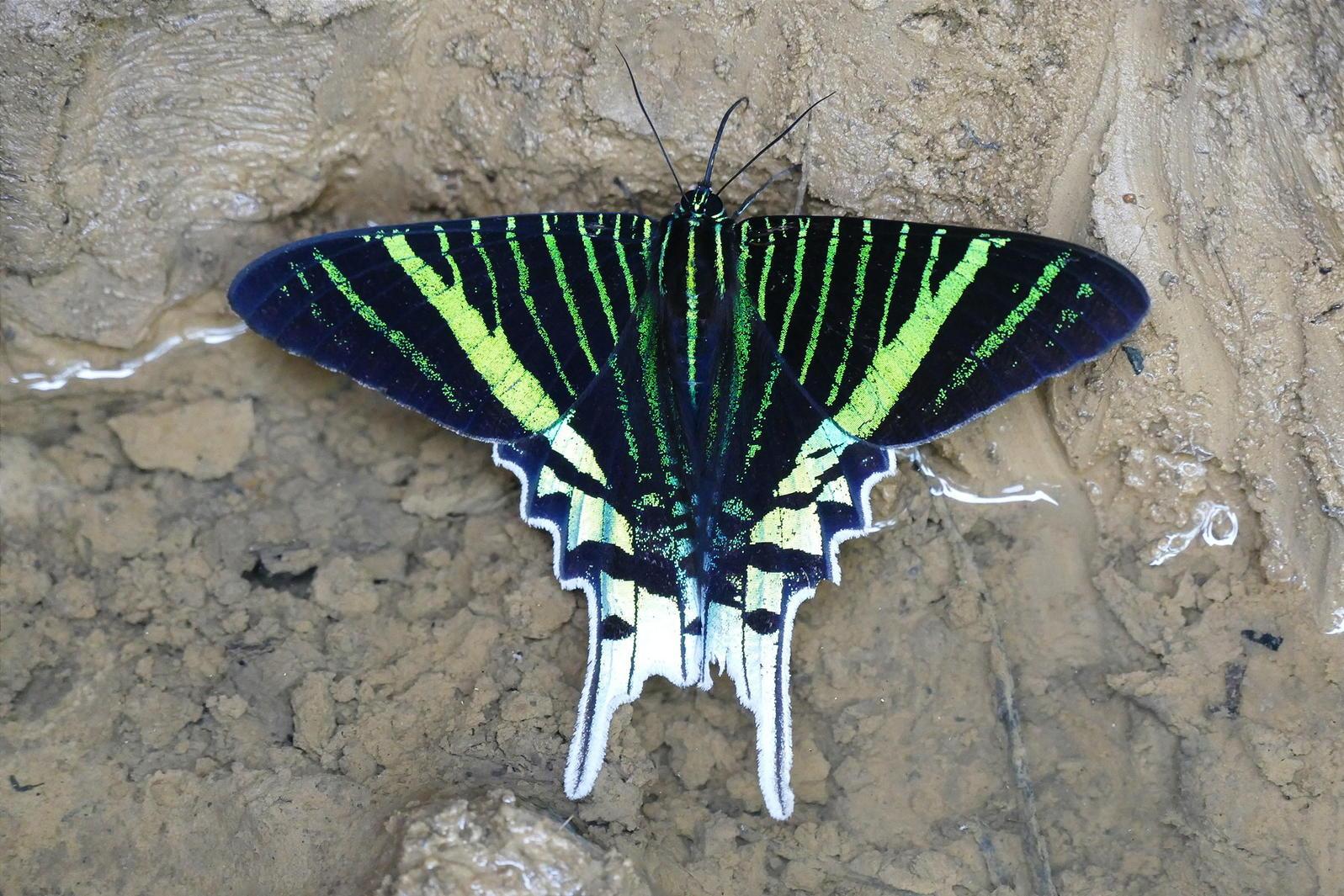 A colorful moth at Shiripuno Lodge, Ecuador. Noah Strycker