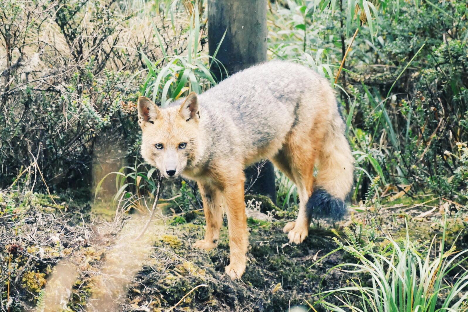 An Andean Fox stares down the camera near Papallacta, Ecuador. Noah Strycker