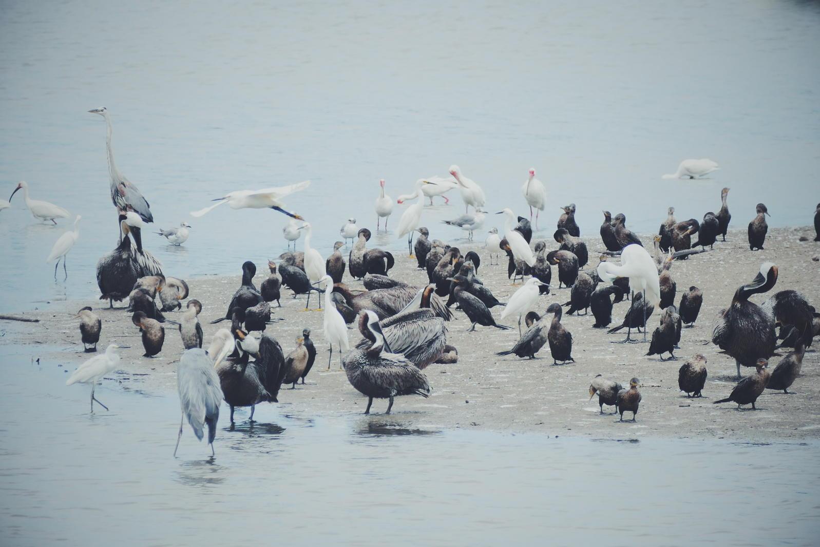 Herons, egrets, pelicans, cormorants, and ibis gather at an estuary in Mazatlan. Noah Strycker