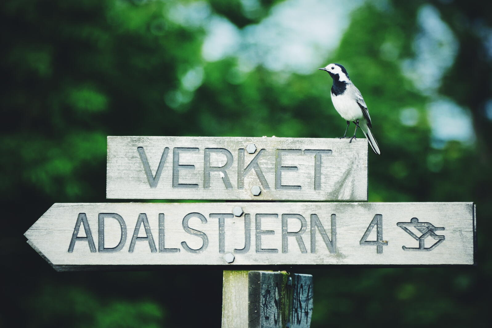 A White Wagtail pauses on a Norwegian signpost. Noah Strycker