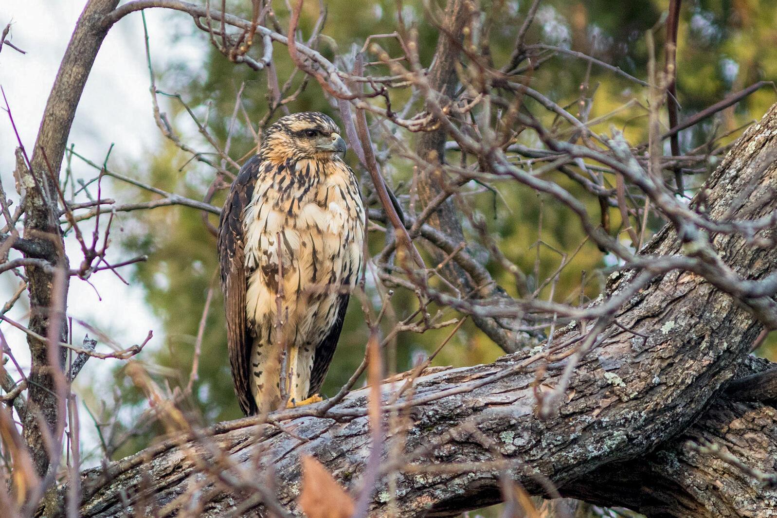 Great Black Hawk in Maine. Doug Hitchcox/Maine Audubon