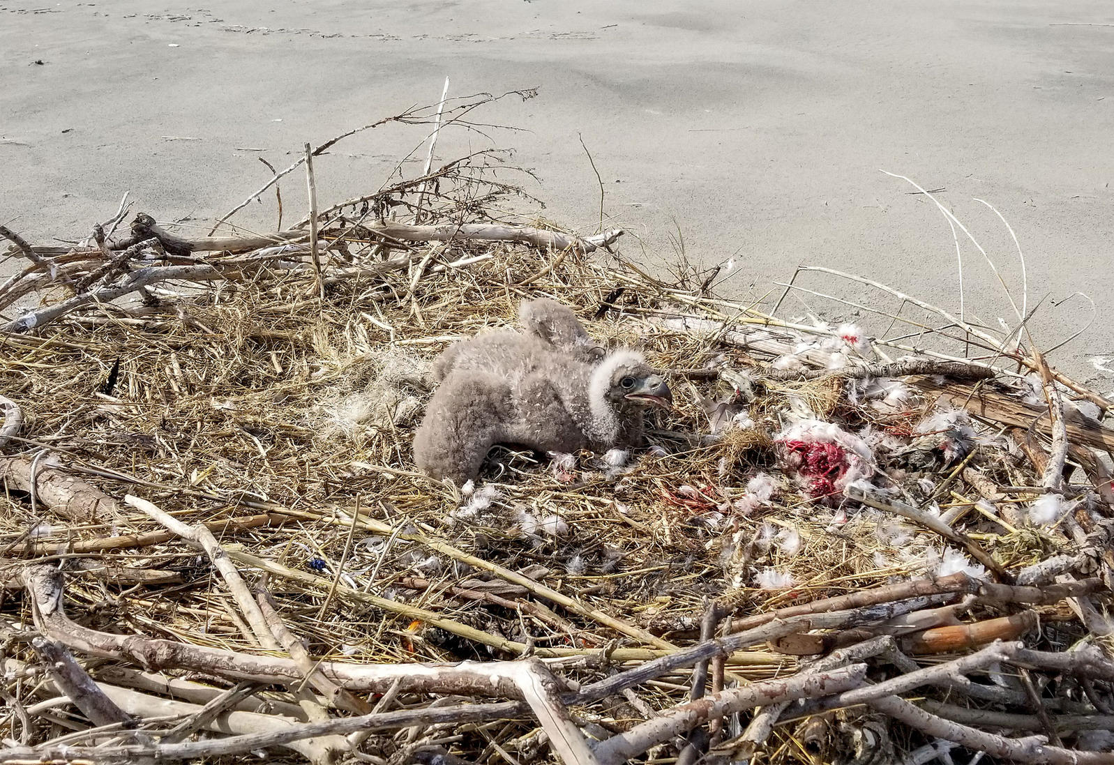 Of the two new beach nests this breeding season, only one saw an eaglet successfully fledge. Alex Wilke