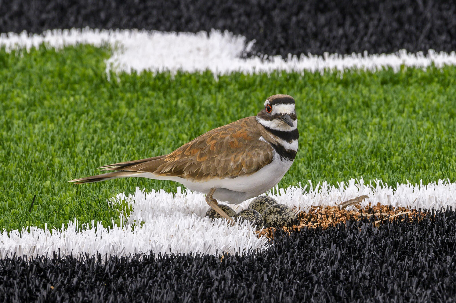 To this Killdeer, the end zone looked like the perfect spot for a clutch of eggs. Renée C. Byer/Sacramento Bee/ZUMA Press
