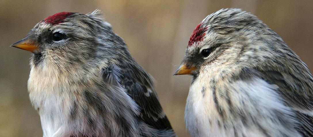 Common (left) and Hoary (right) Redpolls may look like two different species, but their genes say otherwise. Seabrooke Leckie/Flickr Creative Commons