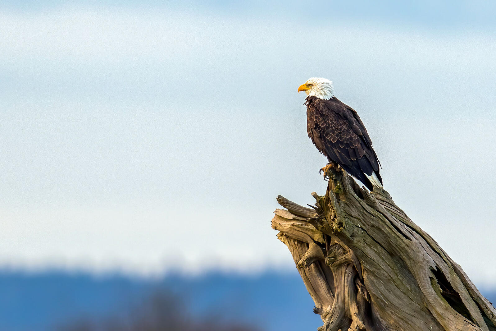 A Bald Eagle sits on a dead tree snag in front of a peaceful blue sky. Mick Thompson