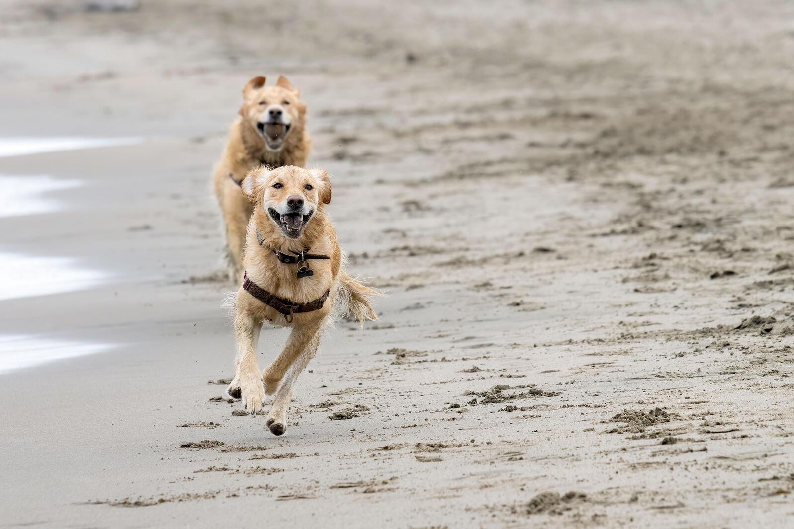 Dogs run off-leash on a beach in California. Tim Fleming/Alamy