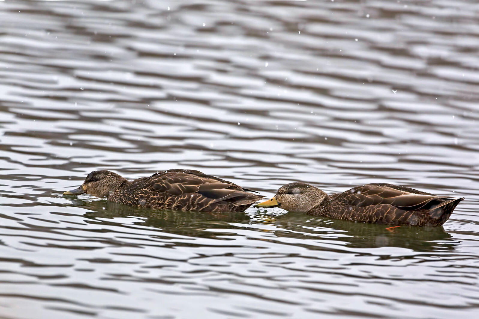 American Black Ducks are one of the species seeing a shift north as temperatures rise. Harold Stiver/Alamy