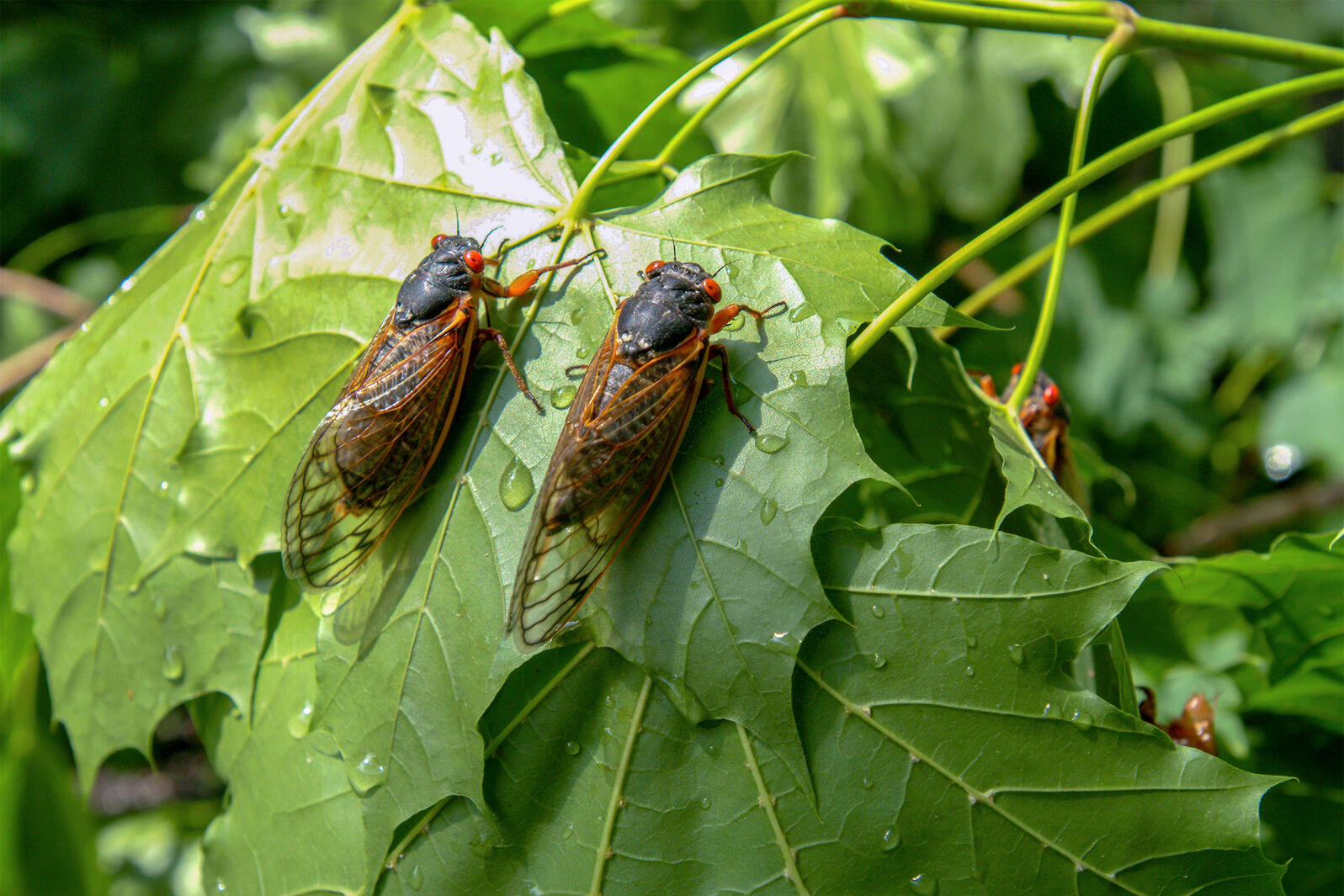 Periodical cicadas from Brood X during their last emergence in 2004. Michael Ventura/Alamy