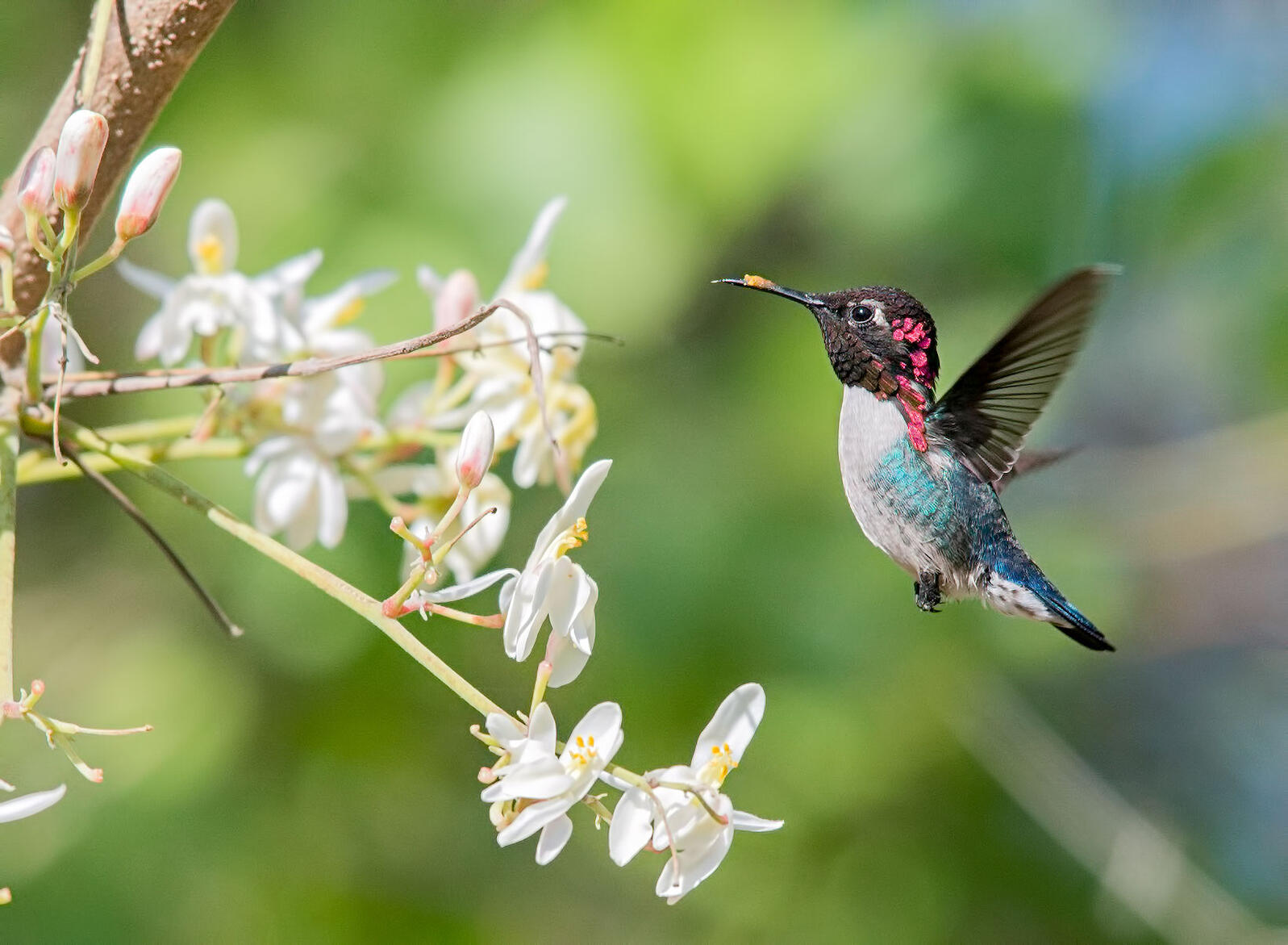 Get To Know The Bee Hummingbird The World S Smallest Bird Audubon