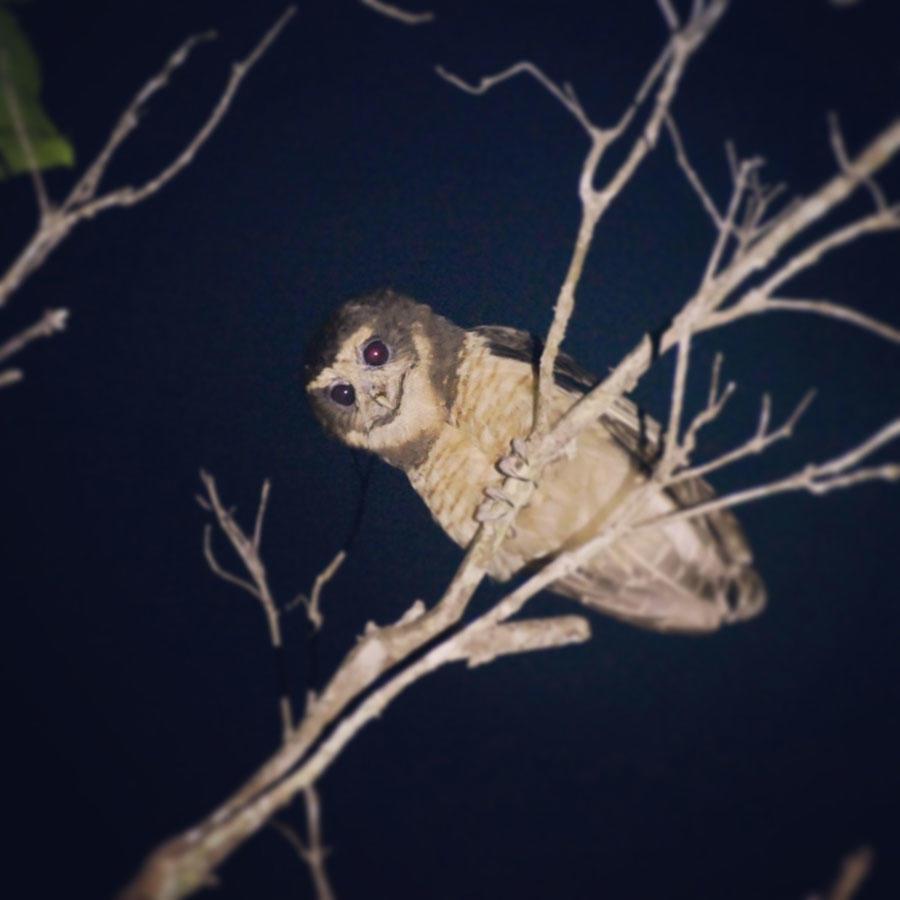 A Tawny-browed Owl looks down from its perch at dusk. Boa Nova, Brazil. Noah Strycker