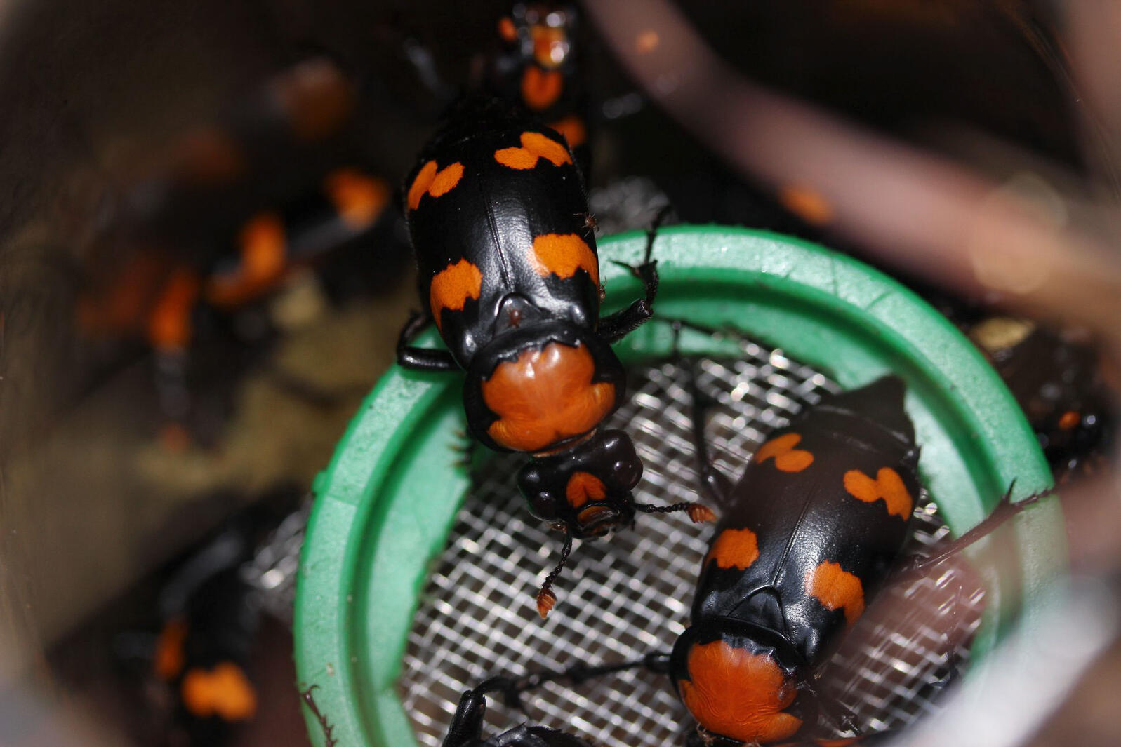 American burying beetles. Courtesy of Roger Williams Park Zoo