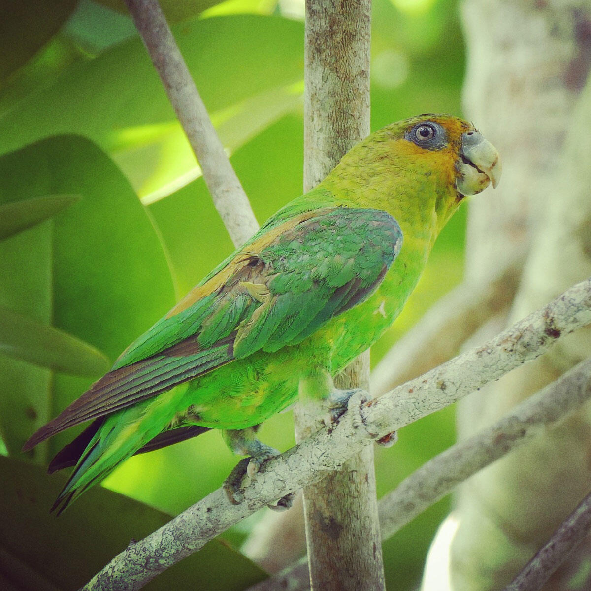 The Golden-tailed Parrotlet is a rare-ish endemic bird of east Brazil; this one put on a show in Leo's front yard! Noah Strycker