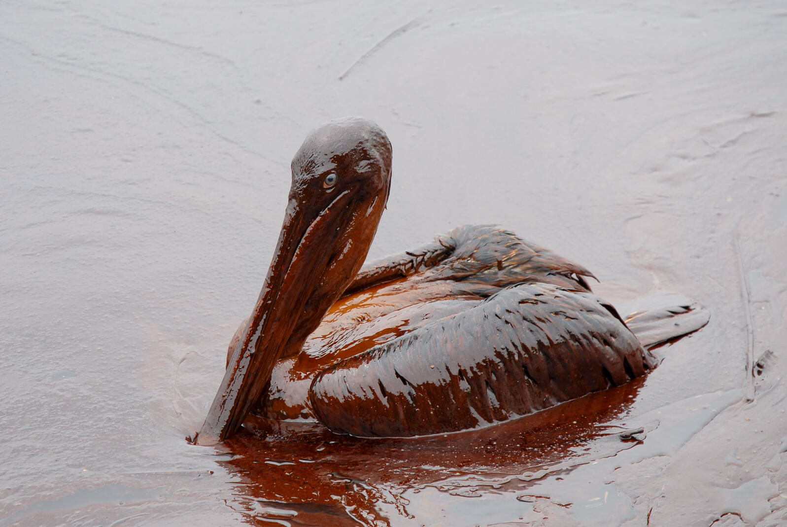 Oiled Brown Pelican. Louisiana GOHSEP