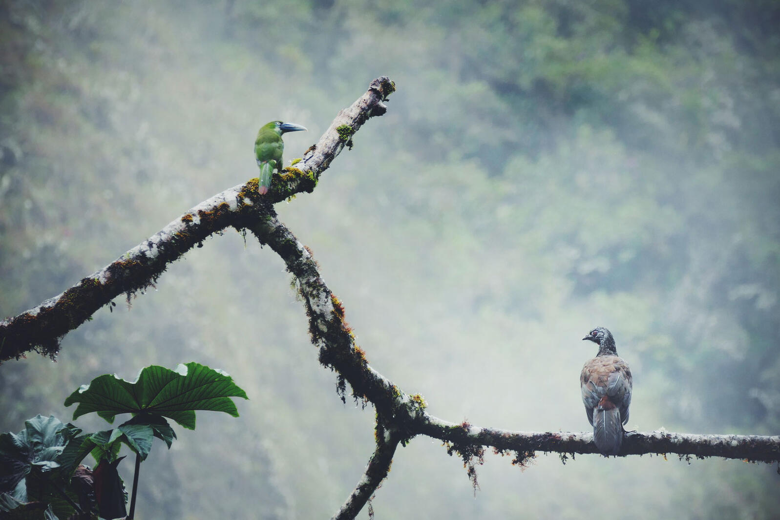 A Blue-banded Toucanet and Andean Guan share a branch along Satipo Road. Noah Strycker