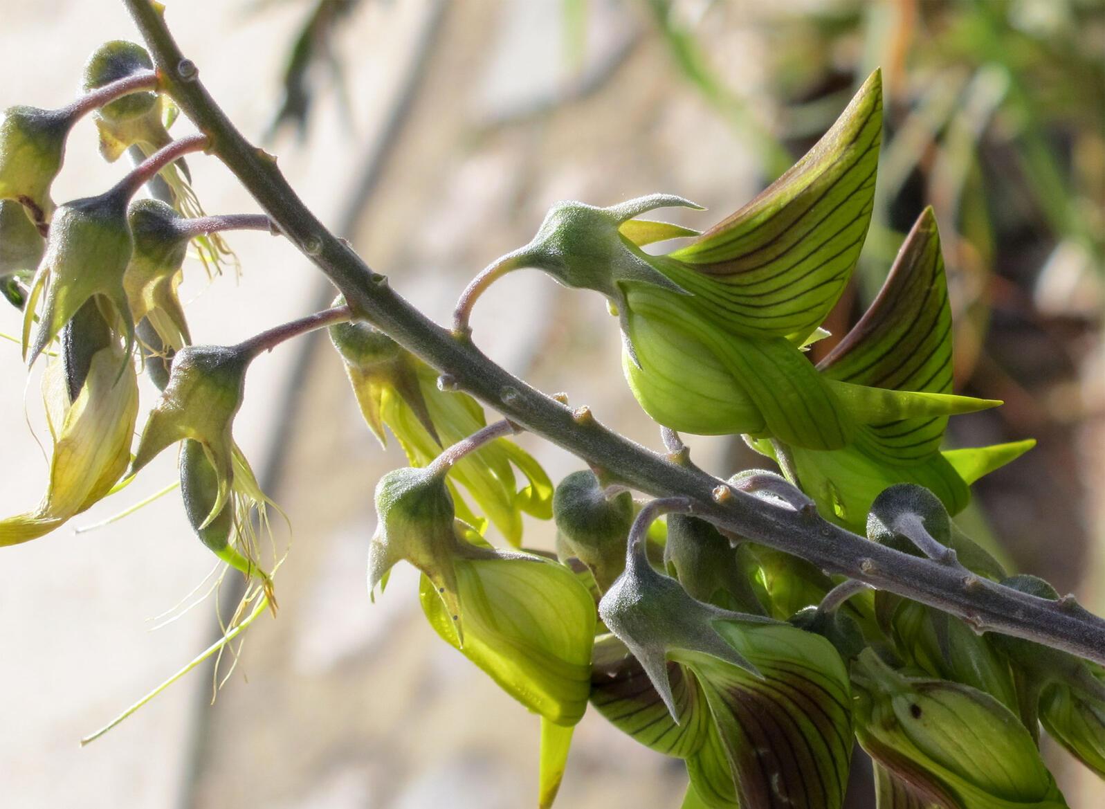 """Crotalaria cunninghamii, also known as the green birdflower, is native to Australia. <a href=""""https://www.flickr.com/photos/wynnie/4705805747/in/photolist-26Gzauy-8aTMUb-8aQu6R-8aTJ6d-8aQrQZ-epYTAv"""">Steel Wool</a>/Flickr (CC BY-NC-ND 2.0)"""