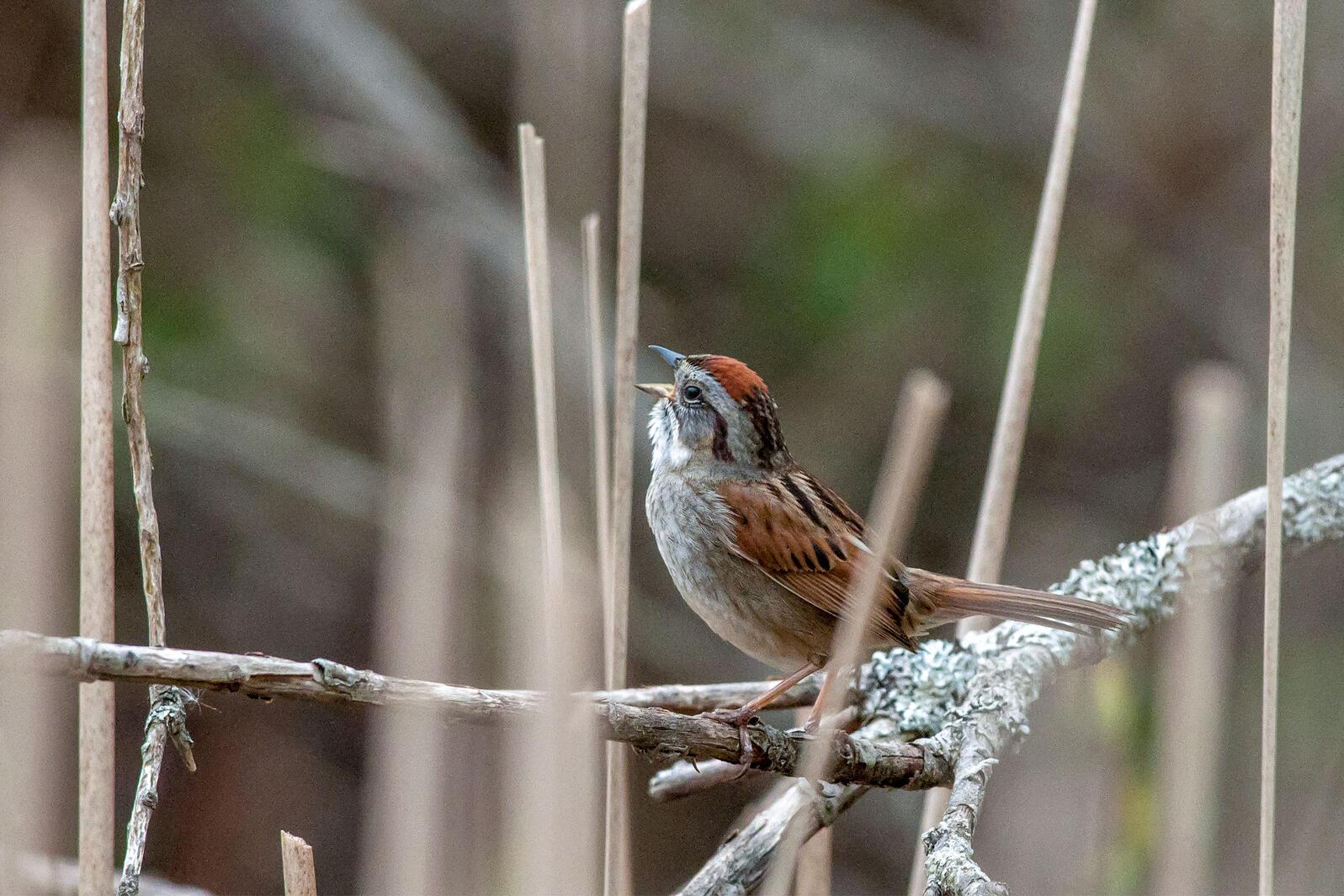 "Swamp Sparrow. <a href=""https://www.flickr.com/photos/pwilt/7119900415/"">Peter Wilton</a>/Flickr (CC BY 2.0)"