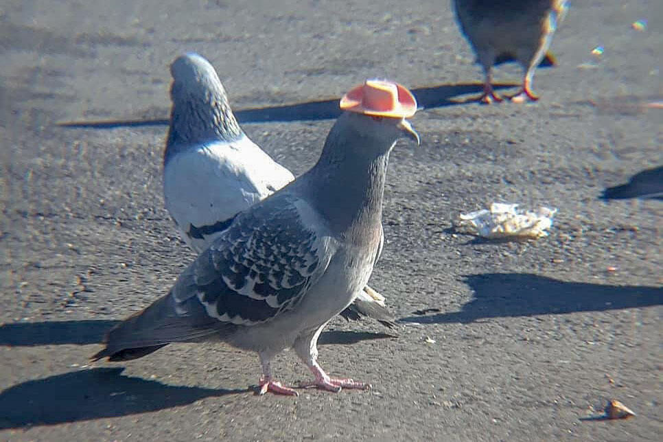 Coolamity Jane is the name given to a Las Vegas pigeon who's unfortunately had a plastic cowboy hat glued to her head. She remains at large. Mariah Hillman/Lofty Hopes