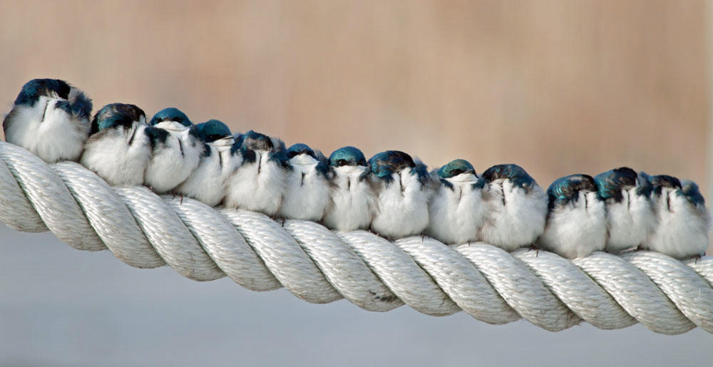 In close quarters, Tree Swallows huddle up with their companions. But according to a new study, it may be more about convenience than affection. Katherine Westover/Audubon Photography Awards