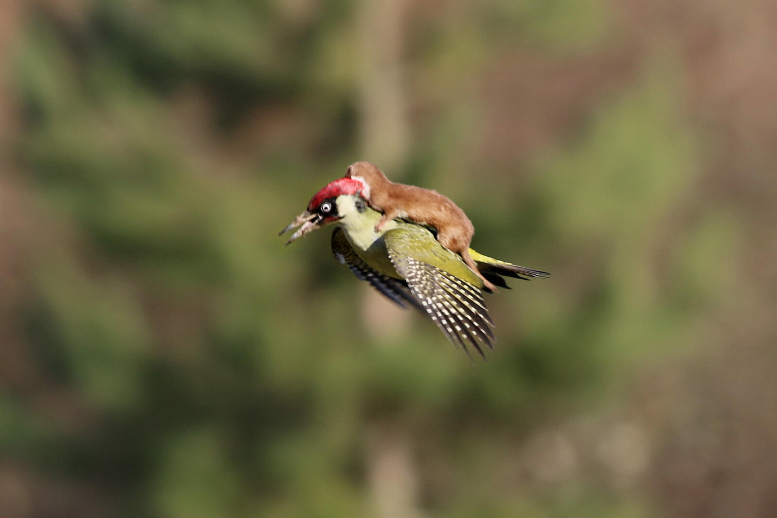 This predatory least weasel takes an unexpected airborne adventure. Martin Le-May