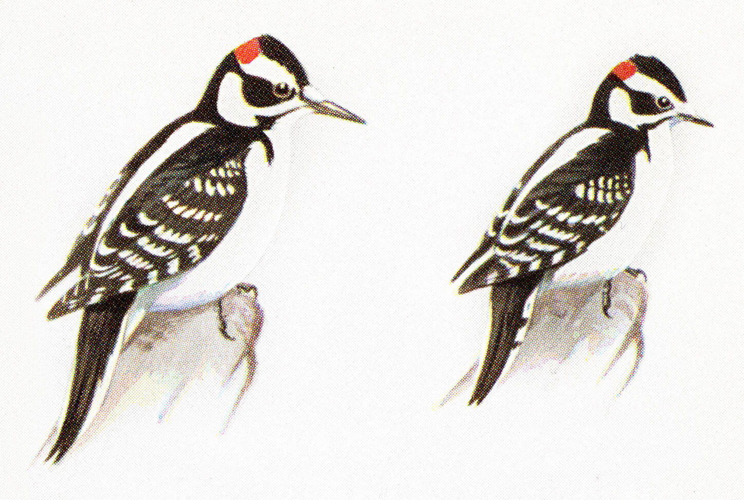 """Left: Hairy Woodpecker. Right: Downy Woodpecker. Illustrations from the book """"A Field Guide to the birds"""" by Roger Tory Peterson."""
