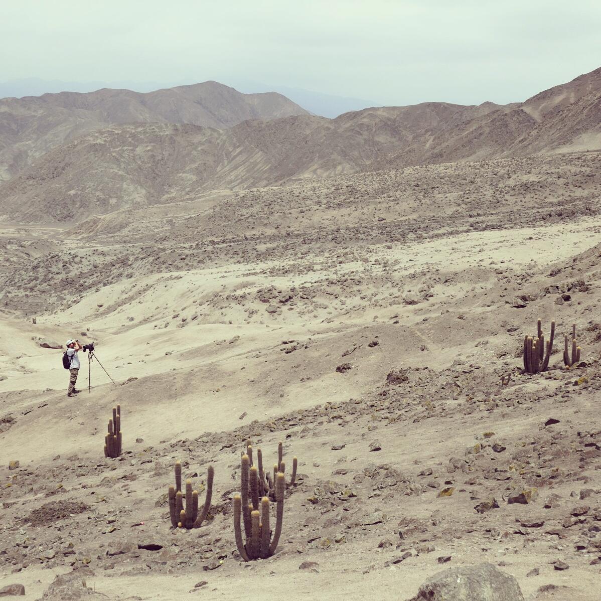 Alejandro searches for Cactus Canasteros inside Lomas de Lachay National Reserve. Noah Strycker