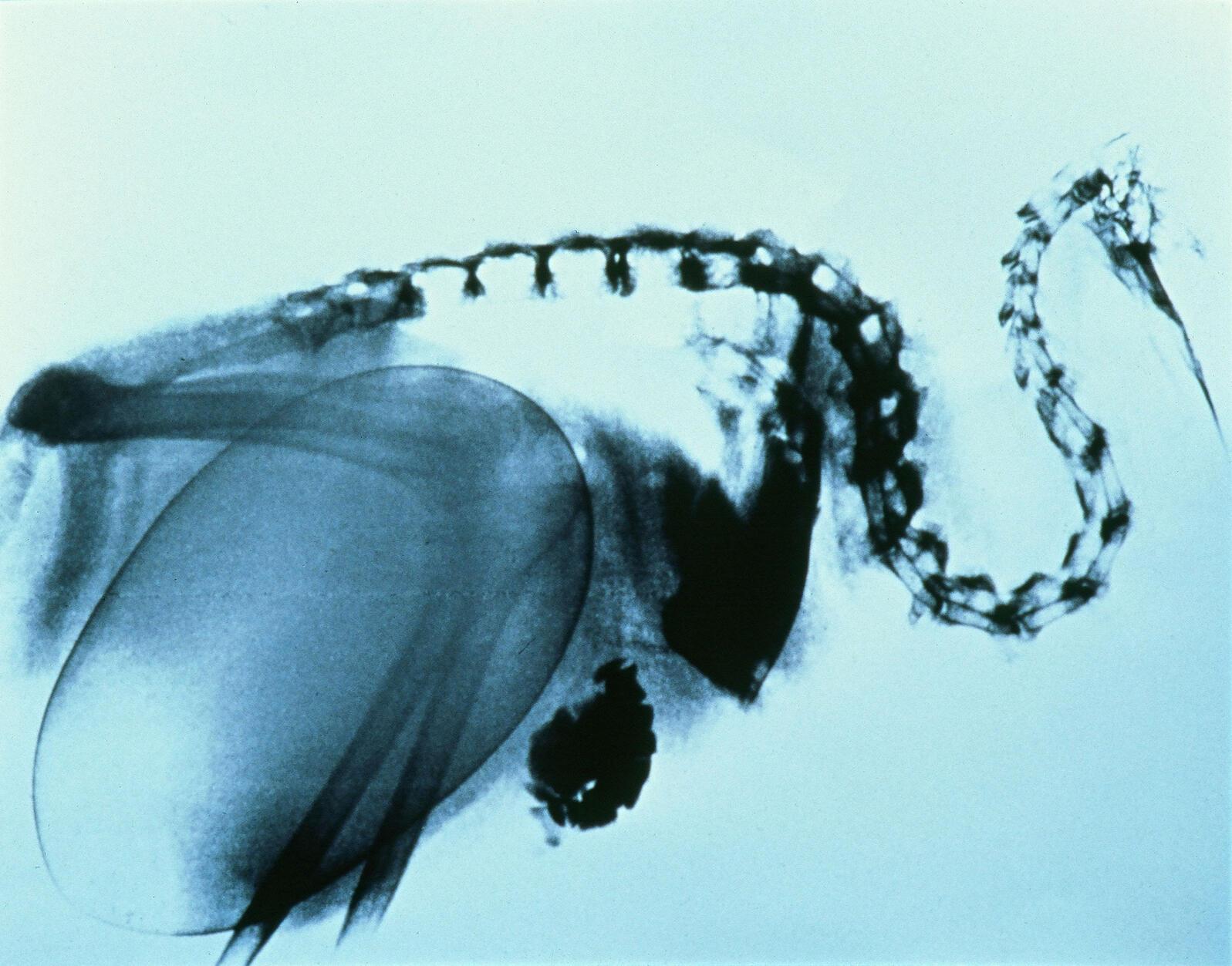 An X-ray of a female kiwi before she lays her egg. Otorohanga Kiwi House