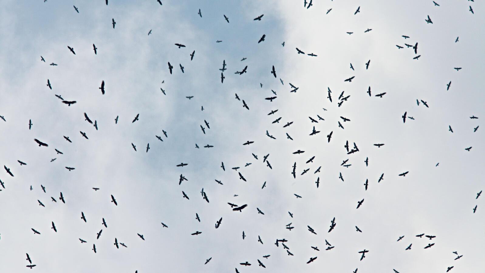 Photograph by Ewan Burns. A kettle of mostly Swainson's hawks over Veracruz as birders gather at the Hotel Bienvenido. Photograph by Ewan Burns.