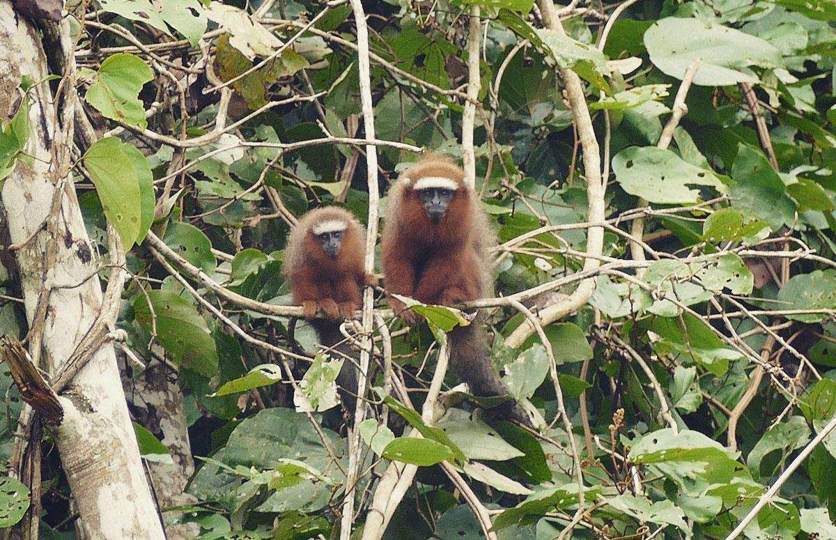 A pair of titi monkeys along the Shiripuno River, Ecuador. Noah Strycker