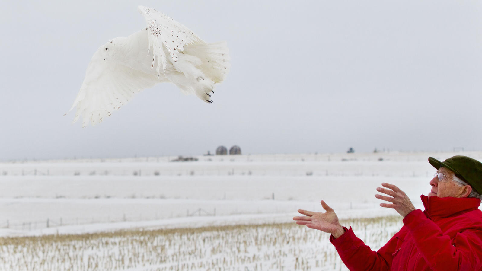Mark Martin, long-time sanctuary manager at Madison Audubon's Goose Pond Sanctuary, releases Goose, a newly tagged Snowy Owl. Arlene Koziol.