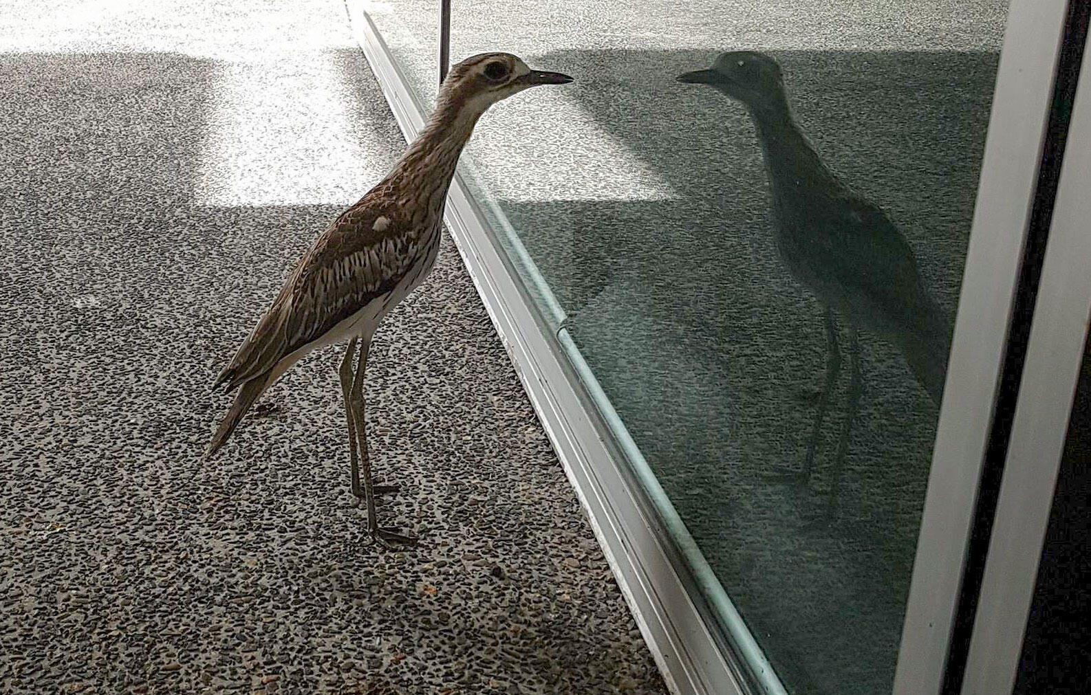The Bush Stone-curlew at Queensland University of Technology in Australia. Heart eyes all around. Nick Wiggins/ABC