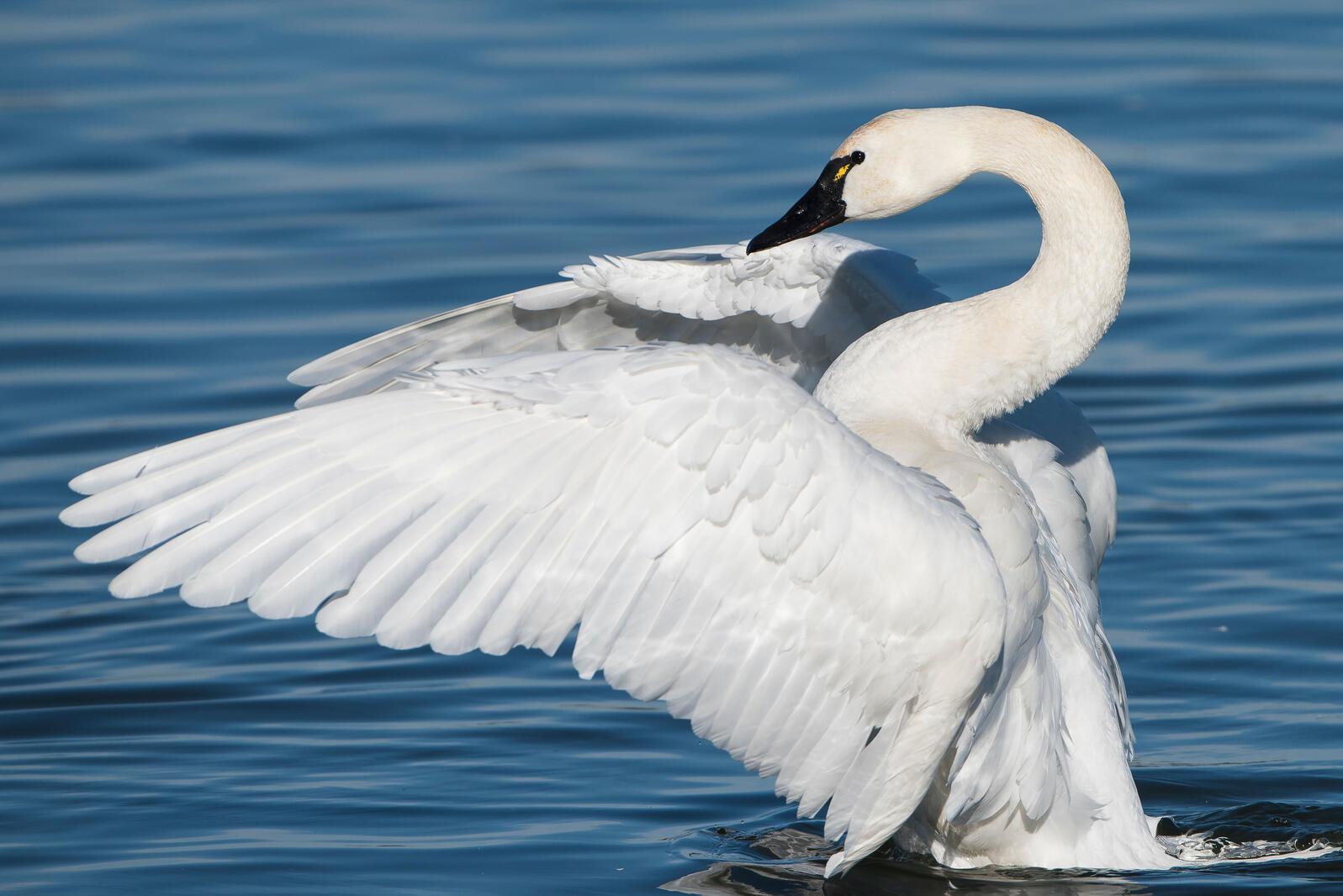 Tundra Swan. Mark Boyd/Audubon Photography Awards