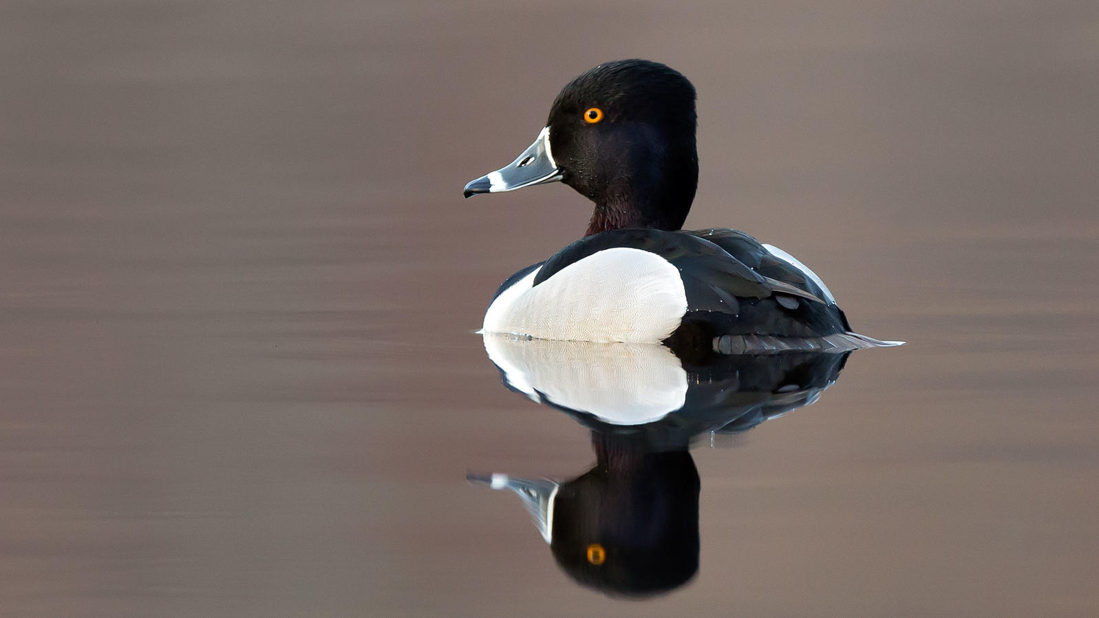 It S Time To Rename The Ring Necked Duck Audubon