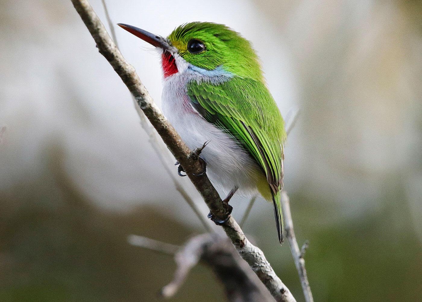 One of Cuba's 28 endemic species, the Cuban Tody. Julia Schmalz