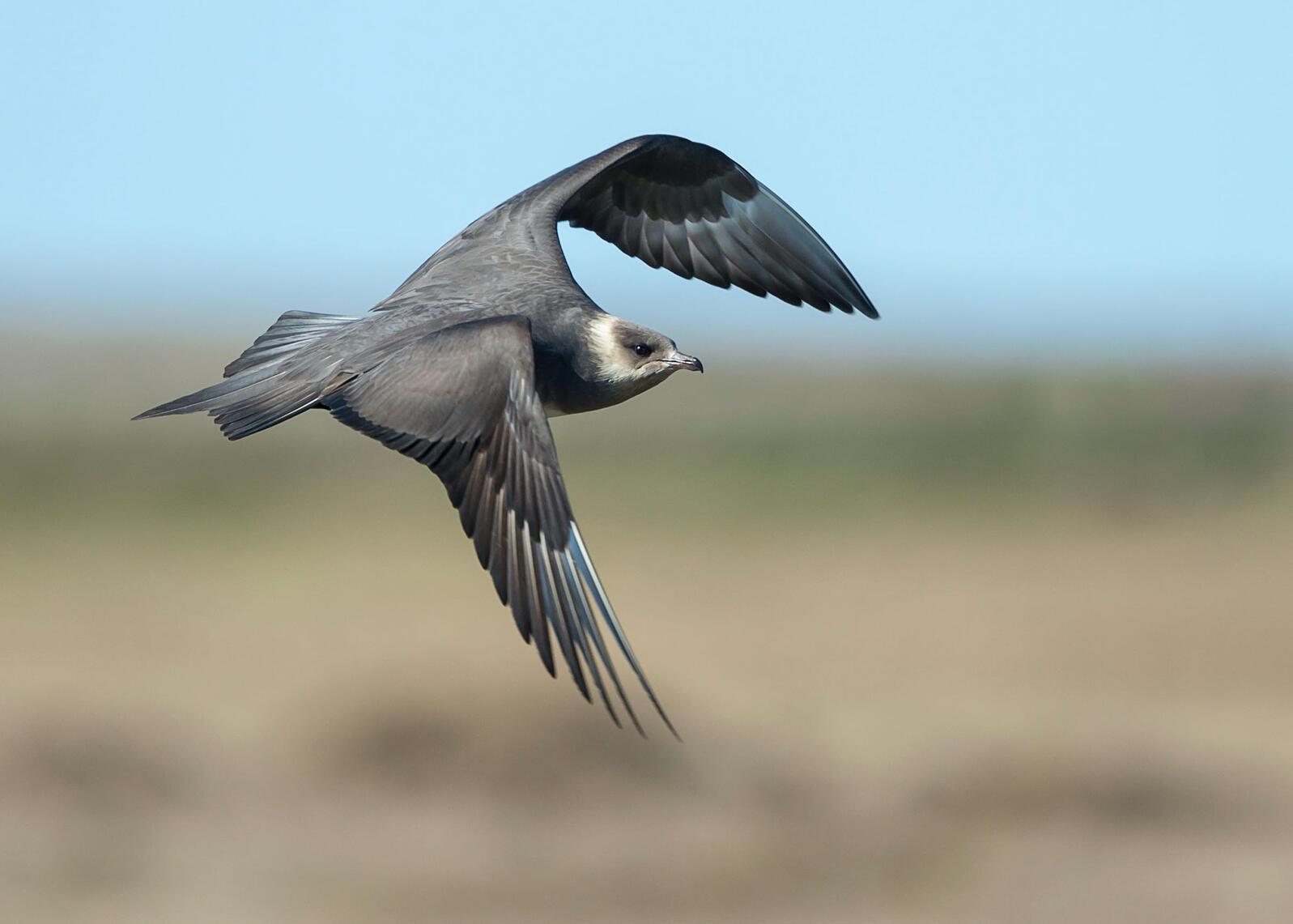 Parasitic Jaeger. Tom Ingram/Audubon Photography Awards
