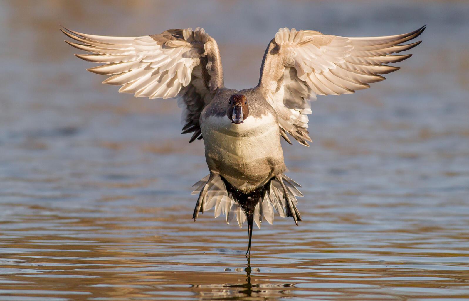 Northern Pintail. Ben Knoot/Audubon Photography Awards