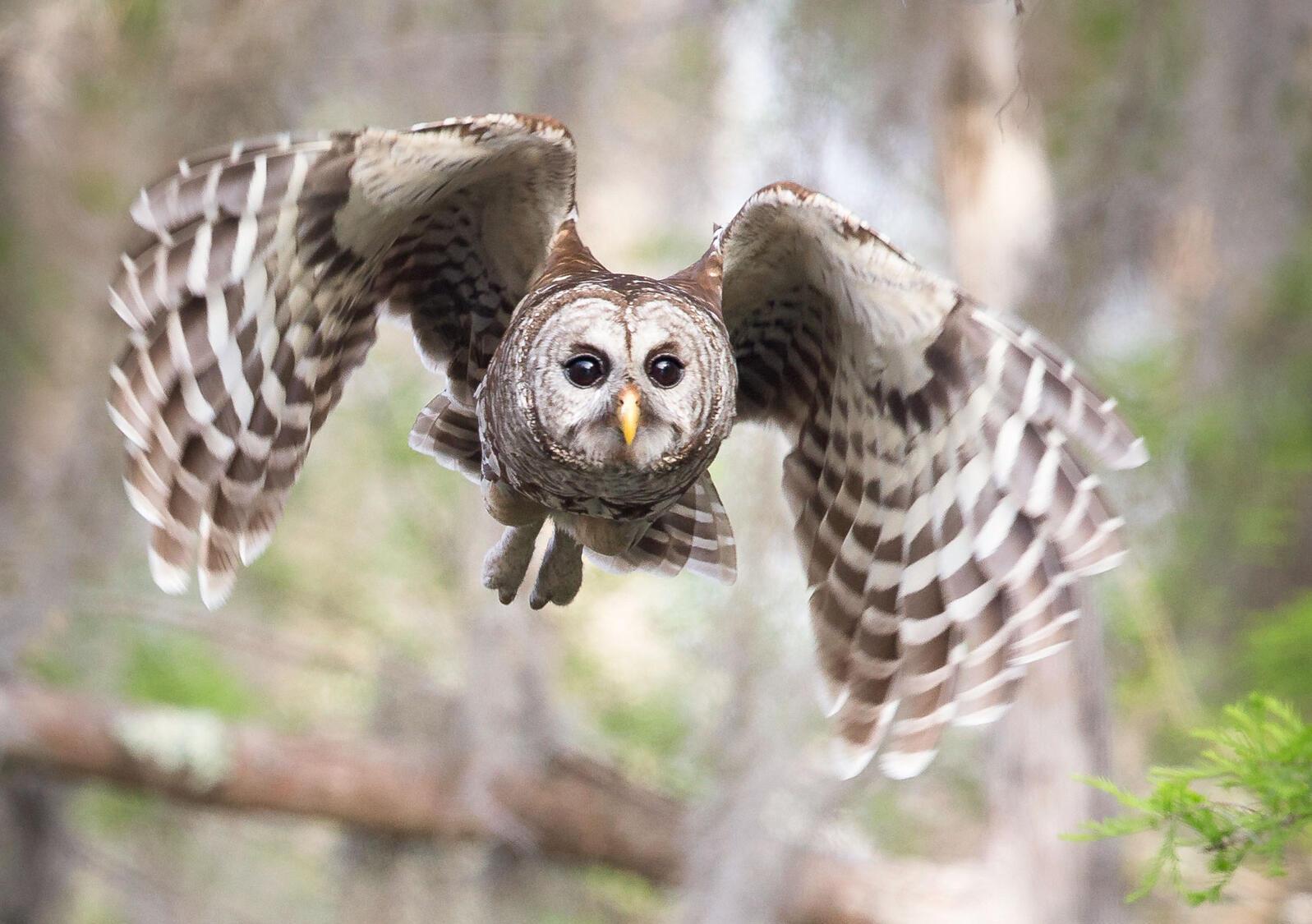 Barred Owl. Sandra Rothenberg/Audubon Photography Awards
