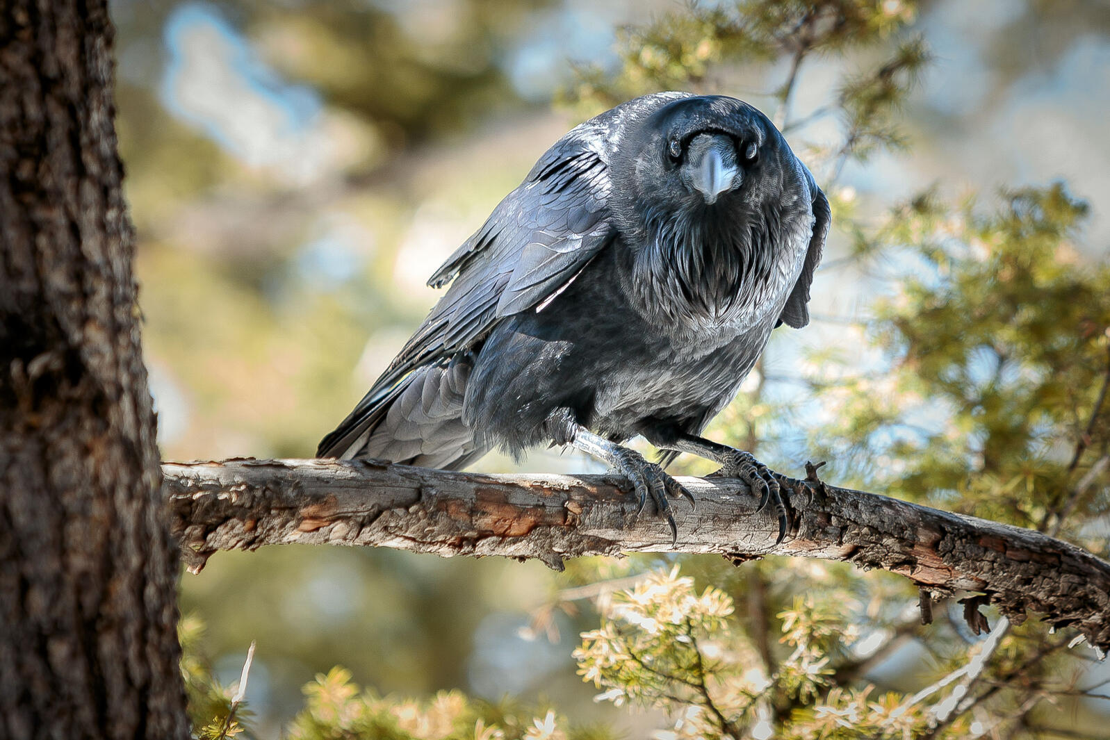 Common Raven. Doug Kliewer/Audubon Photography Awards