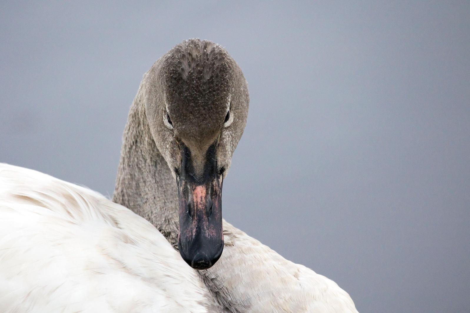 Tundra Swan. Beth Diggs/Audubon Photography Awards