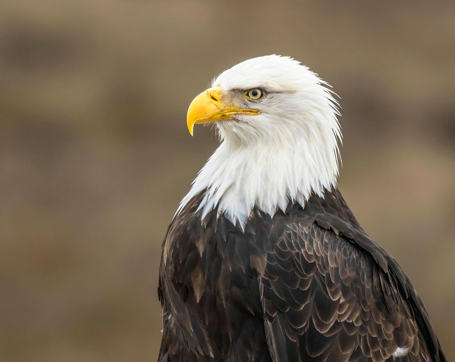 Bald Eagle. Tony Joyce/Audubon Photography Awards