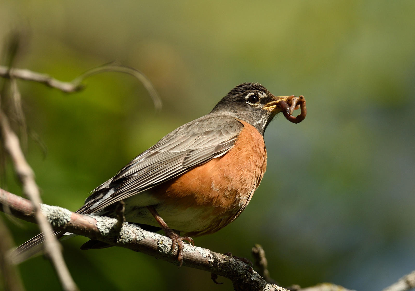 Early bird, shmearly bird. The American Robin that knows when the relative humidity hits roughly 50 percent gets the worm(s). Dennis Derby/Audubon Photography Awards